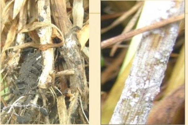 Корневая глинь взрослых растений